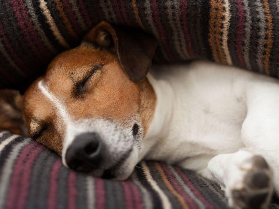 Cachorro dormindo e sonhando