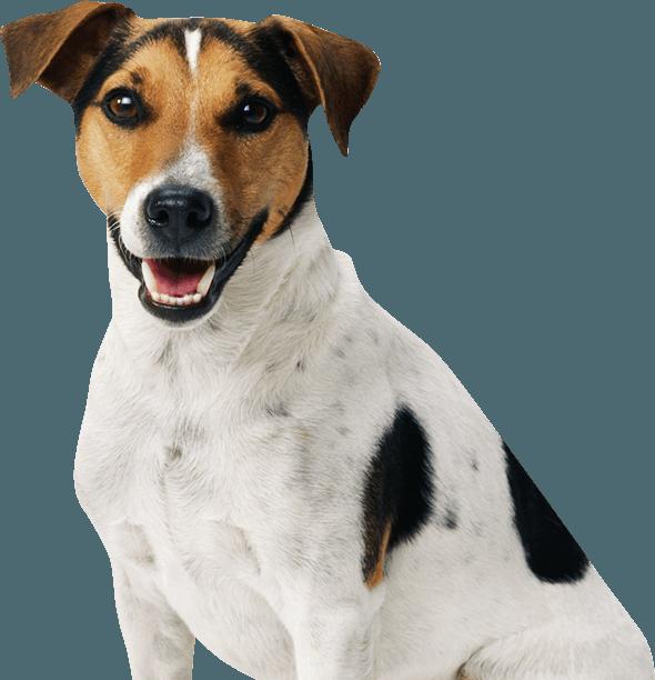 Cachorro Vira-lata