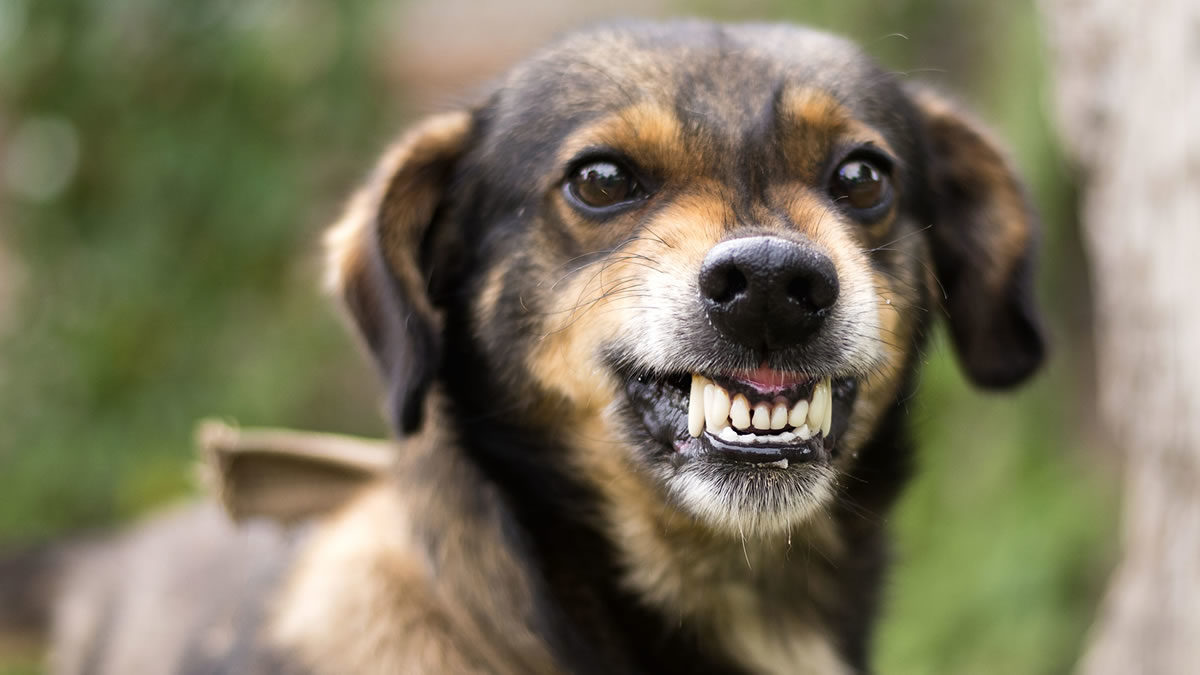 Dicas para lidar com um cachorro agressivo